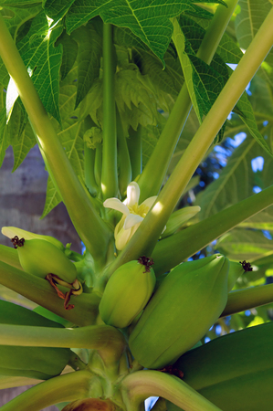 A bunch of papaya fruit are growing in a tree with a papaya flower in bloom. 版權商用圖片