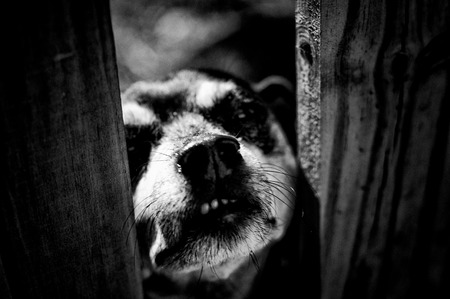 High Contrast black and white image of mini doberman dog snarling through fence at viewer. Stock Photo