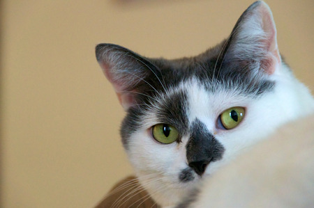 looking directly at camera: A beautiful white female cat with black or grey markings is looking directly at camera indoors. Stock Photo