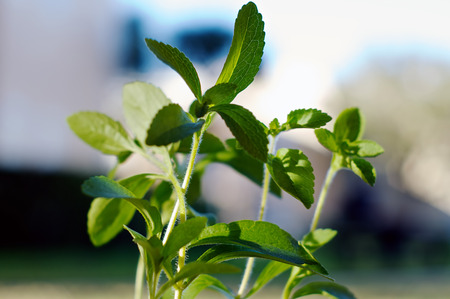 The green leaves of the herb stevia fill the image.