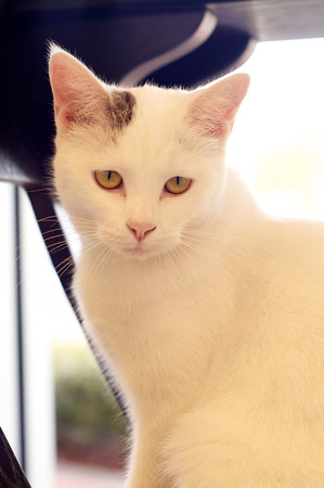 looking at viewer: A white cat with grey markings is sitting looking towards viewer.