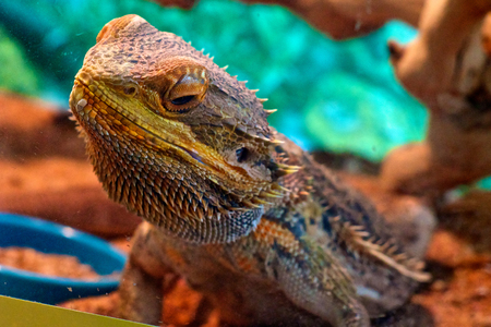 bearded dragon lizard: A pet bearded dragon lizard behind glass with shallow depth of field.