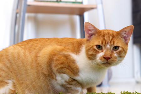 looking at viewer: An orange and white cat is crouching on the floor looking at the viewer. Stock Photo