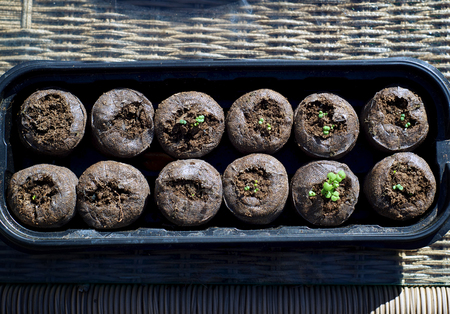 Twelve peat pods in tray with small catnip plants sprouting outdoors in morning sunshine.