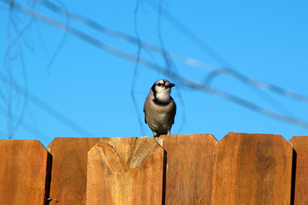 stockade: A Blue jay is perched on the top of a stockade fence against a blur sky and is looking to the right.