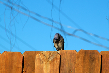 stockade: A Blue jay is perched on the top of a stockade fence against a blur sky and is looking down.