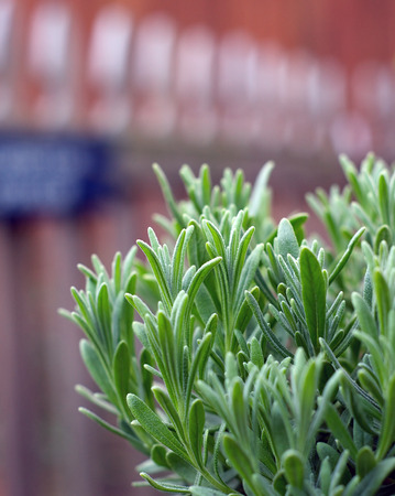picket fence: A young lavender plant growing outside in the garden with picket fence in background.