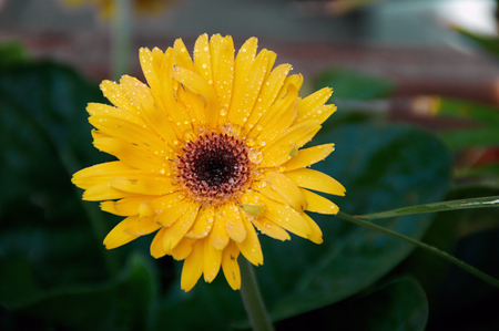 Eye level view of a yellow orange Gerbera flower in bloom after rain in the shade.