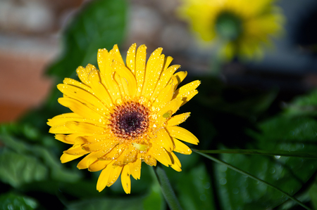 Eye level view of a yellow orange Gerbera flower in bloom after rain in the sunshine.