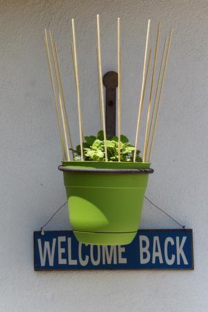 """nepeta cataria: Un vaso di fiori verde con le vostre piante catnip si blocca su un muro di fronte a un bianco e blu """"bentornato"""" segno."""