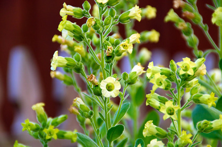 hopi: Close up eye level view of little yellow flowers on the nicotiana rustica tobacco plant also known as Sacred Hopi, Turkish or Aztec tobacco. Used in medicinal and spiritual ceremonies.