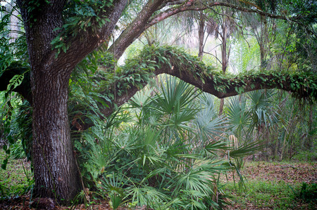 A large old oak tree is covered with resurrection ferns and surrounded by small palm trees in subtropical florida at morning.