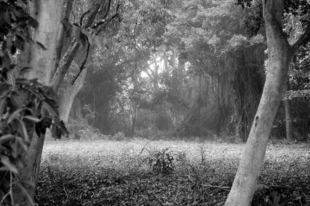 Black and white image of inside forest on a foggy morning looking down a path under a canopy of trees.
