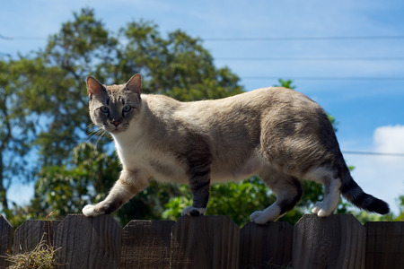A feral cat is outside on top of a fence looking at viewer against the sky. 版權商用圖片