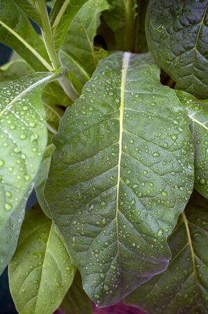 arching: Close up of large green tobacco leaves covered with rain drops at later afternoon.