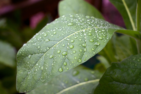 tobacco leaf: Close up of large green tobacco leaf covered with rain drops at later afternoon.