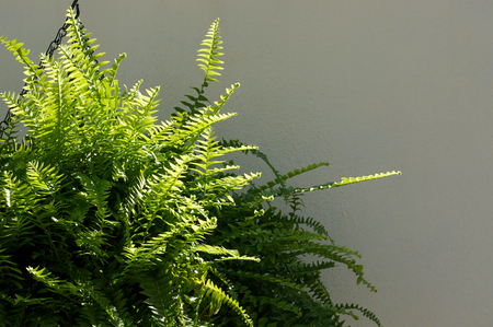 A Large Boston Fern plant hanging from a chain in front of a white wall in partial sunshine. Foto de archivo