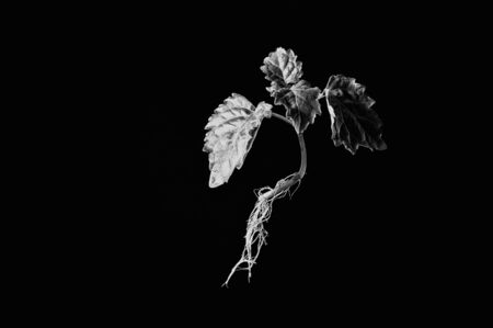 side lighting: A young patchouli plant with roots showing is suspended in mid air against a black background with side lighting in black and white.