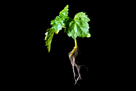 side lighting: A young patchouli plant, a member of the mint family, with roots showing is suspended in mid air against a black background with side lighting.