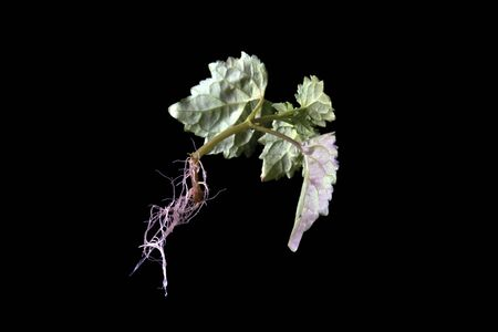 suspend: Back or underneath view of young patchouly plant suspended in mid air against black background showing, leaves, stem, and roots. Stock Photo