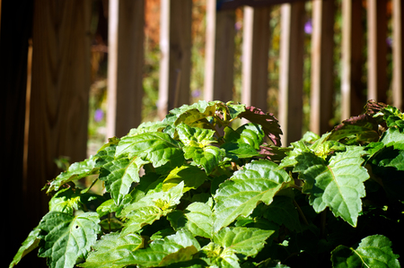 Eye level view of large patchouli plant in garden with fence in background, showing green leaves with purpleish undersides.