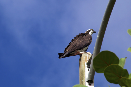 osprey bird: A black and white osprey or fish hawk is standing on top of pole holding a fish in its talons and looking alert in profile against blue sky with light clouds in Naples, Florida. Stock Photo