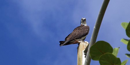 looking at viewer: A black and white osprey or fish hawk is standing on top of pole holding a fish in its talons and looking down at viewer against blue sky with light clouds in Naples, Florida.
