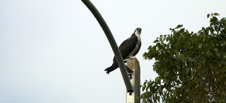 viewer: An adult sea eagle or osprey looking down at viewer from top of light pole in Naples, Florida, showing tree top and copy space in sky.