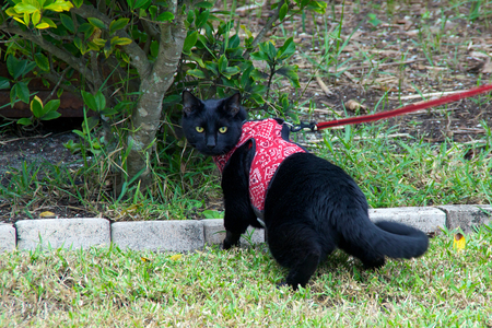 looking at viewer: A black cat walking outside on a leash looking over his shoulder at viewer.