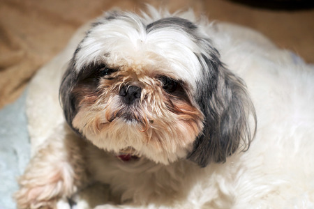 looking at viewer: A small Shih Tzu dog with a dirty face is looking up at viewer. Stock Photo