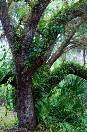 over grown: An old oak tree with plants growing on it and small palm trees at the base in a sub tropical forest in Estero, Florida.