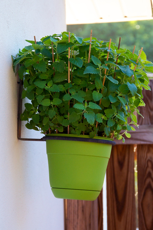 catnip: A full, lush catnip plant in a green pot hanging on the wall.