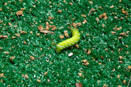 tomato caterpillar: A Large, plump tomato worm laying on the ground
