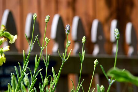 picket fence: A row of small lavender flower buds with a wooden picket fence in the background in mid morning. Stock Photo