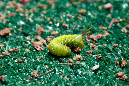 tomato caterpillar: A Large, plump tomato worm laying on the ground curled up.
