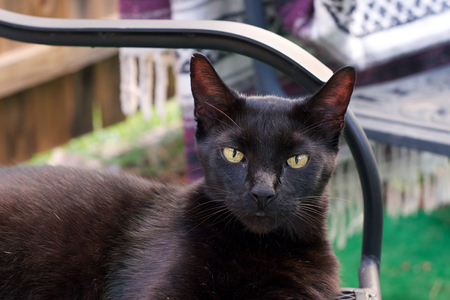 looking at viewer: A beautiful black Havana Brown cat outdoors looking directly at viewer.