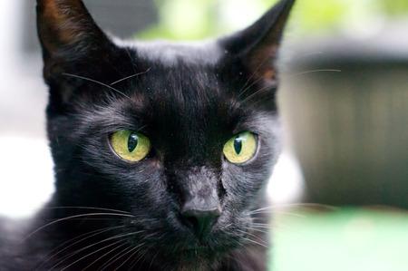 looking at viewer: Serious looking black colored Havana Brown cat looking at viewer.