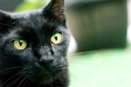 viewer: Close up view of an Havana Brown cat looking at viewer from edge of image.