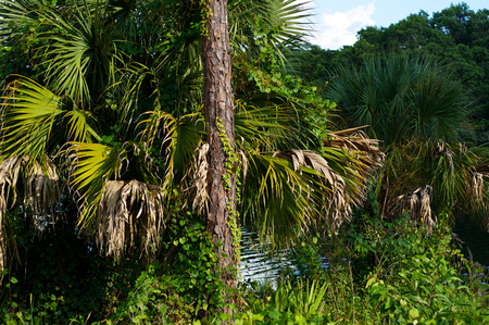 subtropical: Assorted subtropical vegetation on the banks of the Imperial River in Bonita Springs Florida.