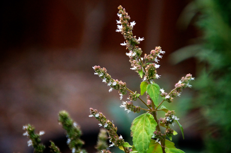 Close up of spiked patchouli flower buds showing some white flowers and green leaves with copy space. Stock Photo