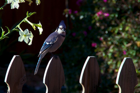 looking at viewer: A bluejay is perched on top of a picket fence in backyard garden looking at viewer, side morning light.