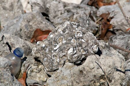 imbedded: A rock encrusted with fossilized seashells sits on a pile of rocks.