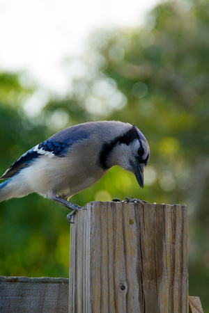 fence post: Profile view of a blue jay bird perched on fence post looking at seeds.