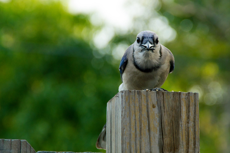 fence post: Blue jay bird perched on fence post with sunflower seed in beak staring at viewer.