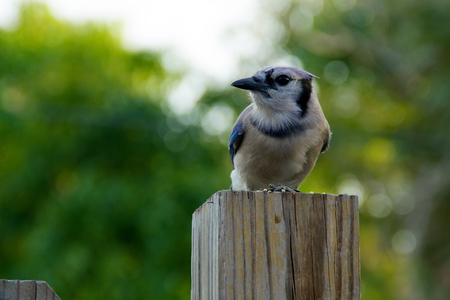 fence post: Blue jay bird perched on fence post looking to the side.