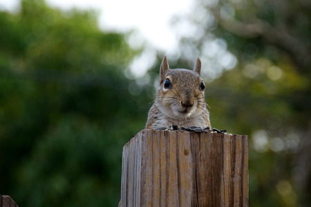 looking at viewer: A grey squirrel is perched behind a fence post which makes it appear it is sitting at a table covered with sunflower seeds and looking at viewer.