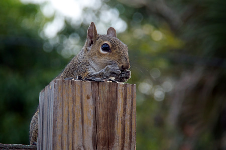 fence post: An Eastern grey squirrel is perched behind a fence post which makes it appear it is sitting at a table covered with sunflower seeds and has hands up to mouth eating.
