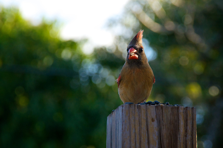 female cardinal: A young female cardinal bird perched eating sunflower seeds on top of a square wooden fence post in late afternoon. Appears to be looking at viewer. Stock Photo