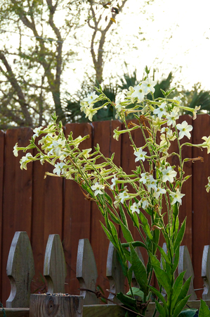tubular flowers: looking towards a bunch of nicotiana alata  flowers, five pointed white fragrant blossoms with red fence in background.