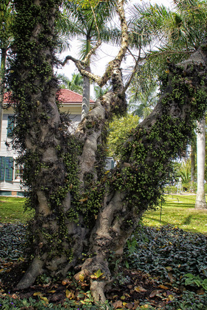 Detailed view of the Cluster Fig Tree(Ficus racemosa), a ficus tree also known as Indian and Goolar, with the plant,wandering jew, growing around the base in Ft Myers Florida and the fruits clinging to the trunk.